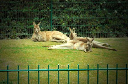 Kangaroo guilt trip