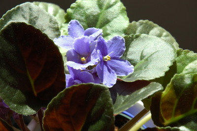African Violet in Sunshine