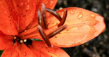 Orange_lily_raindrops