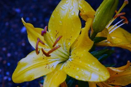 Yellow_lily_raindrops